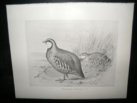 Frohawk 1898 Antique Bird Print. Red-Legged Partridge